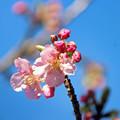 Photos: 河津桜 咲き始めました\(^o^)/♪
