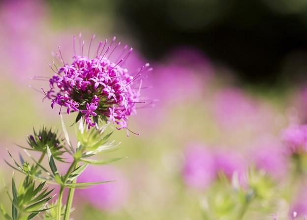 ピンキーな花たち a