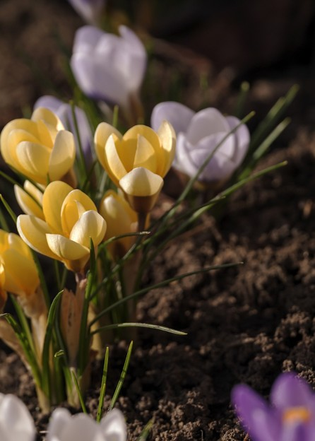 サッポロ花だより/クロッカス咲く