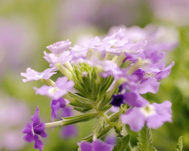 春なので バーベナ special color 2