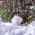 写真: 4月の庭/残雪とクロッカス