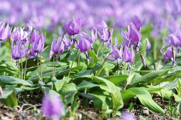 カタクリの花たち c