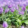 写真: カタクリの花たち c