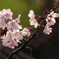 写真: サッポロ花便り/チシマザクラ咲く