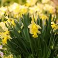 写真: 4月の庭/スイセンまっ盛り