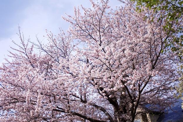 桜樹のある家