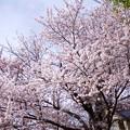 写真: 桜樹のある家