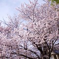 Photos: 桜樹のある家