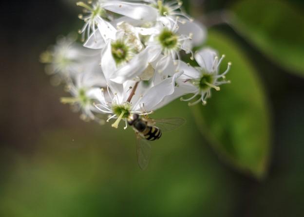 ジューンベリーの花とアブ a