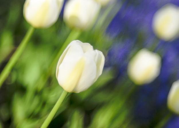 写真: Electric-tulip 2