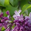 写真: サッポロ花便り/ライラック咲く