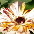 写真: カレンデュラ・コーヒークリーム 植物図鑑風