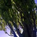 SILHOUETTE/これも北大のポプラ