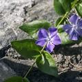 Photos: 「日々草の日常」
