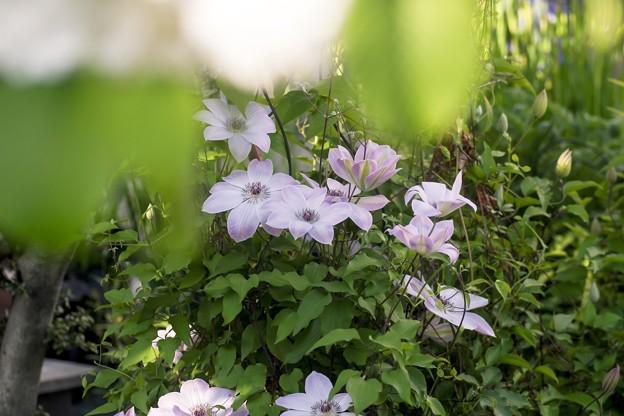 5月の庭/クレマチス映えし