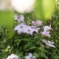 Photos: 5月の庭/クレマチス映えし