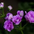 写真: アイビーペラゴニウム/コンテッサ・ダブルライラック/植物図鑑風