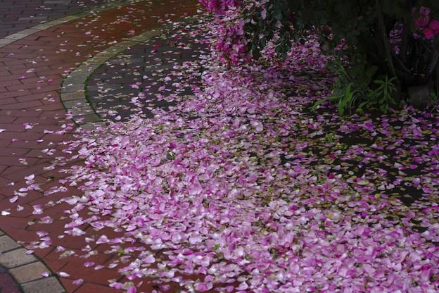 蝦夷梅雨の束の間に/雨の匂い 薔薇の香り
