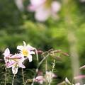 写真: 百合が原公園のユリ d