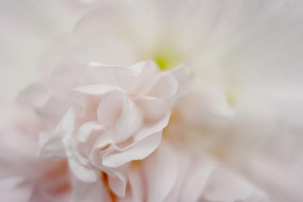 Photos: ホリホック white