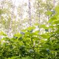 写真: 白樺並木/アジサイの咲くころ b