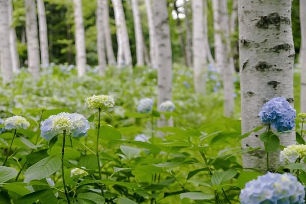 白樺並木/アジサイの咲くころ c