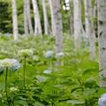 写真: 白樺並木/アジサイの咲くころ c