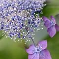 写真: アジサイの詩 indigo