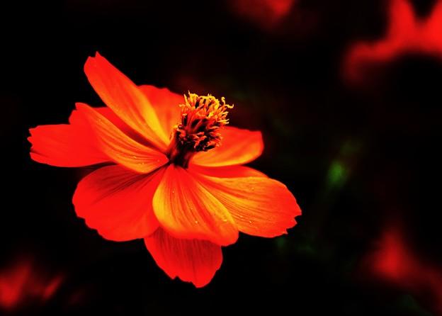 午後のコスモス ―Orange―