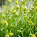 写真: こぼれる 黄