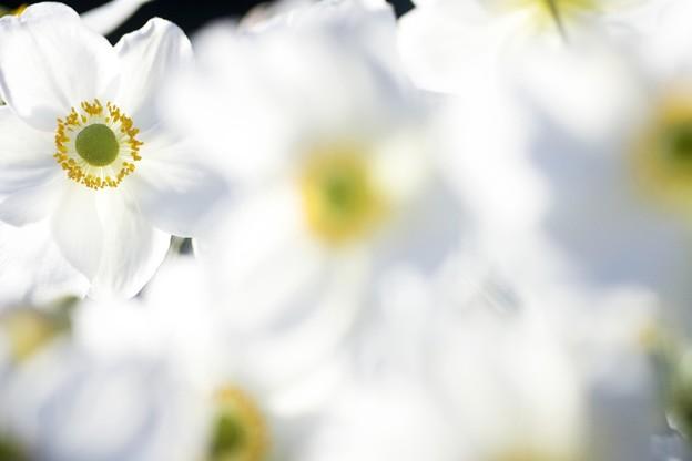 10月の庭/秋明菊