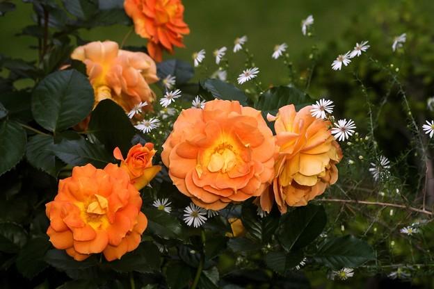 10月の庭/薔薇たち