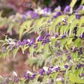 写真: 10月の庭/伸びやかなコムラサキシキブ