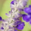 写真: Salvia collection 3