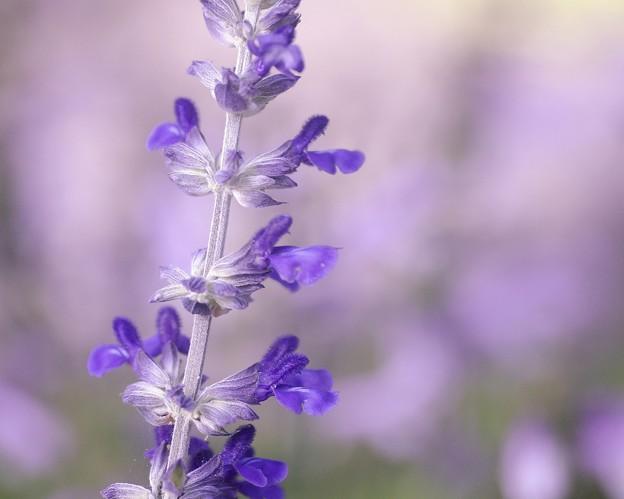 写真: Salvia collection 4