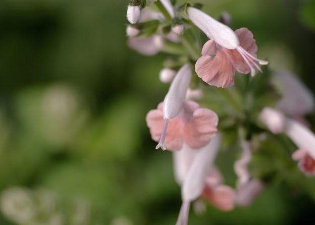 Salvia collection 5