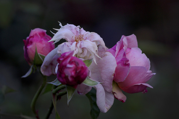 瀕死の薔薇たち