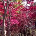 写真: 紅葉/モミジのトンネル