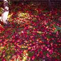 写真: 落葉しぐれの候