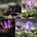 Photos: 里山/春の妖精 ***