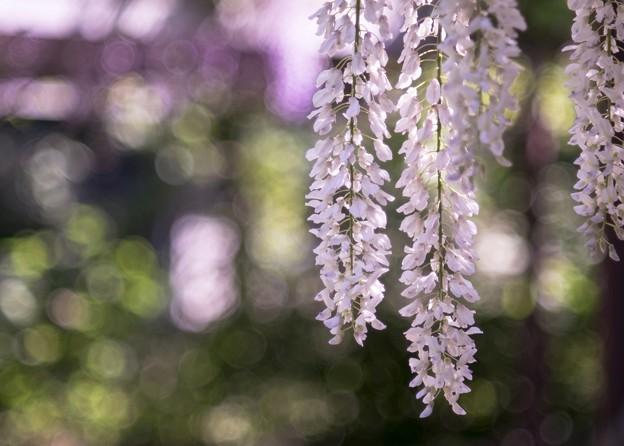 Photos: 「泡沫の夢」