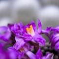 ほんの小さな... /サボテンの花