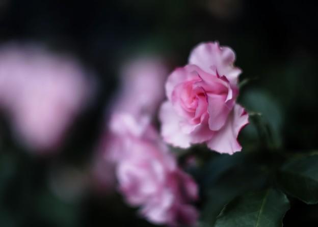 薔薇の季節 ****** / softly /