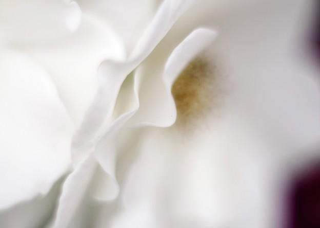 白薔薇の秘密