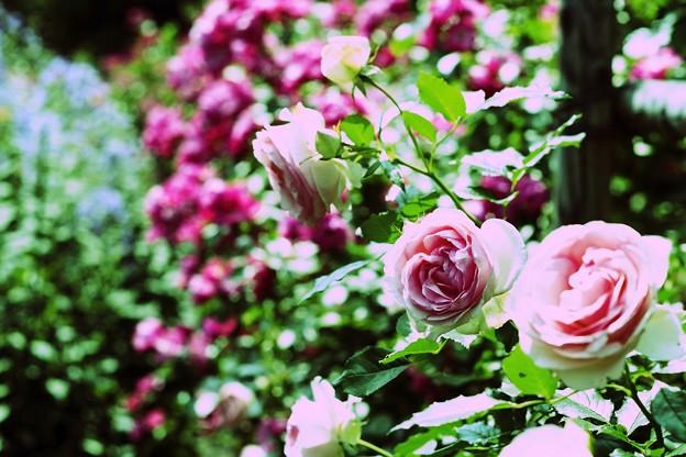 薔薇の苑 pop