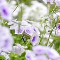 Photos: 7月の庭/ソフトにフロックス