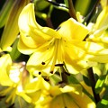 Lily assorted ********