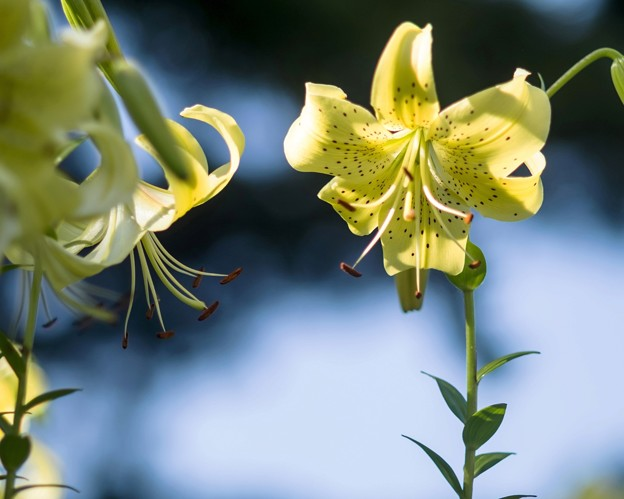 Lily assorted *********