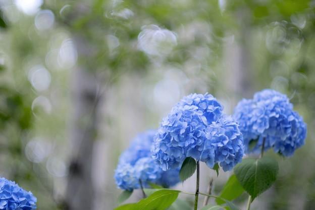 シラカンバに紫陽花ブルーを添えて