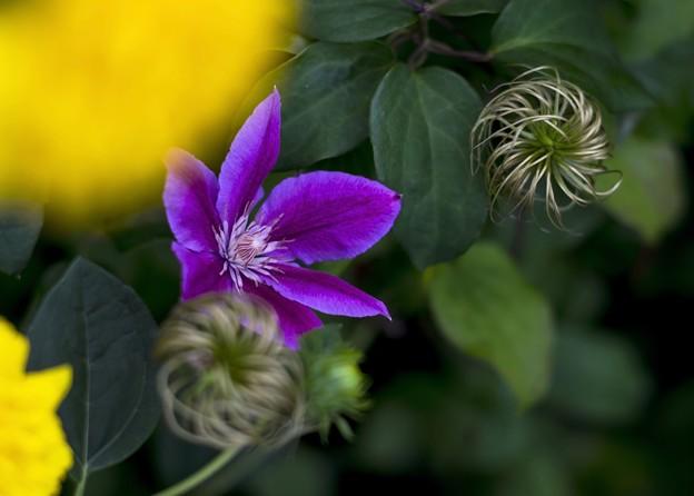 8月の庭/夕暮れクレマチス